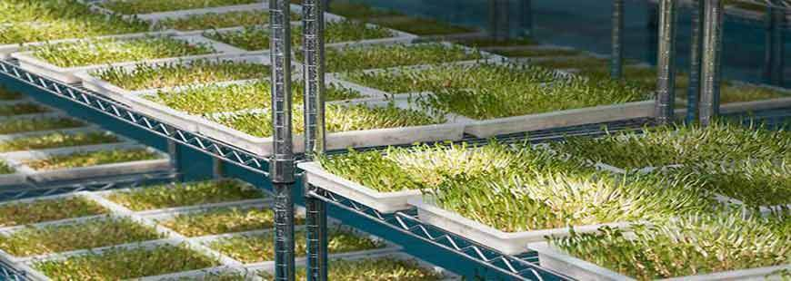 Sprouts and Wheatgrass Production - Summer Tips
