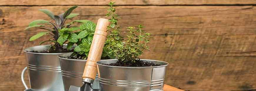 5 Late Summer Sowing Herbs
