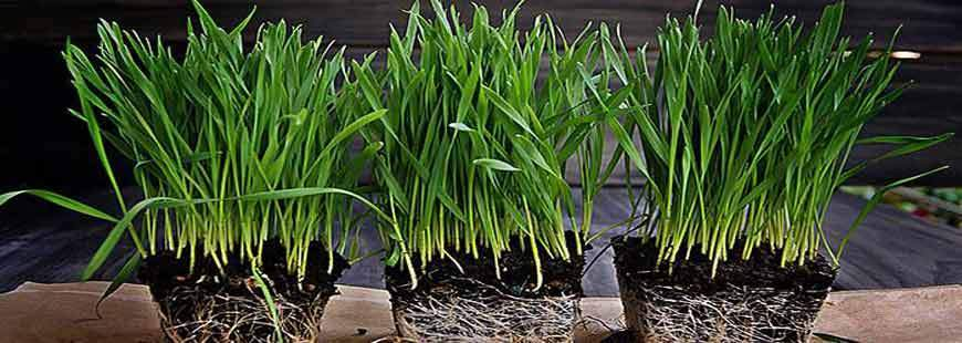 Summertime Wheatgrass Growing Tips