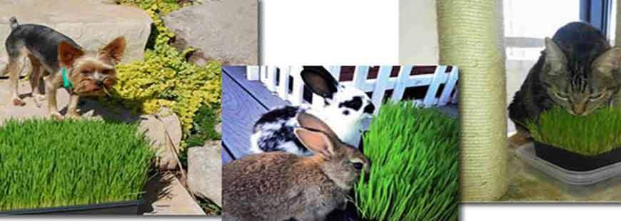 The Benefits of Wheatgrass for Pets!