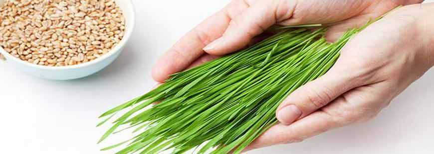 The Value of Fresh Wheatgrass Juice
