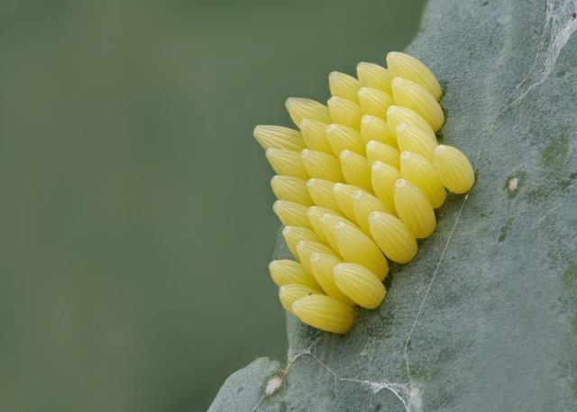 Cabbage Worm Eggs