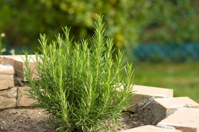 Dry outdoor conditions for Rosemary