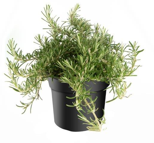 Rosemary grown in pots