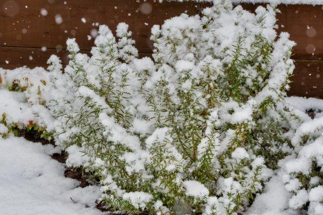 Winter hardy rosemary covered in snow