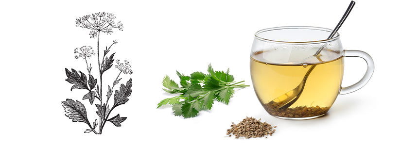 Anise leaves and seeds with a cup of aniseed tea