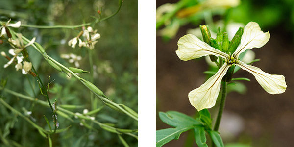 Arugula flowers and seed pods