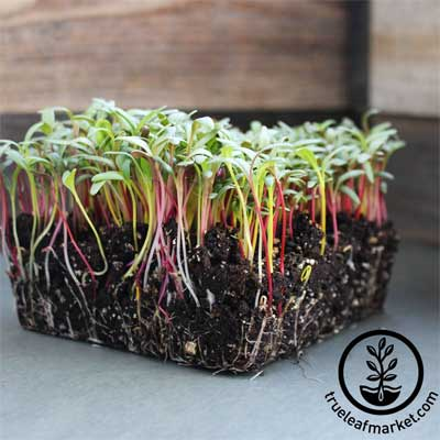 grow nutritious microgreens all year round