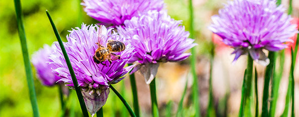 A bee gathering pollen from a chive flower