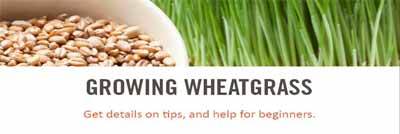 wheatgrass growing starter guide