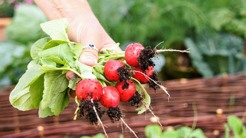 Harvesting Cherry Belle Radishes