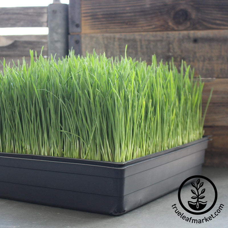 grown wheatgrass