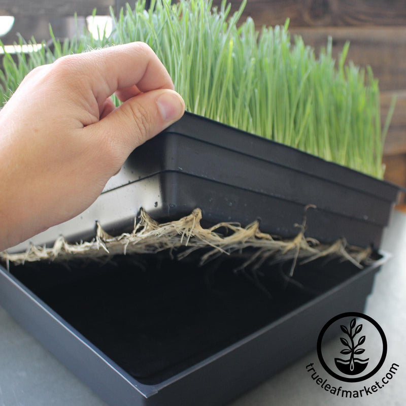 grown wheatgrass with roots