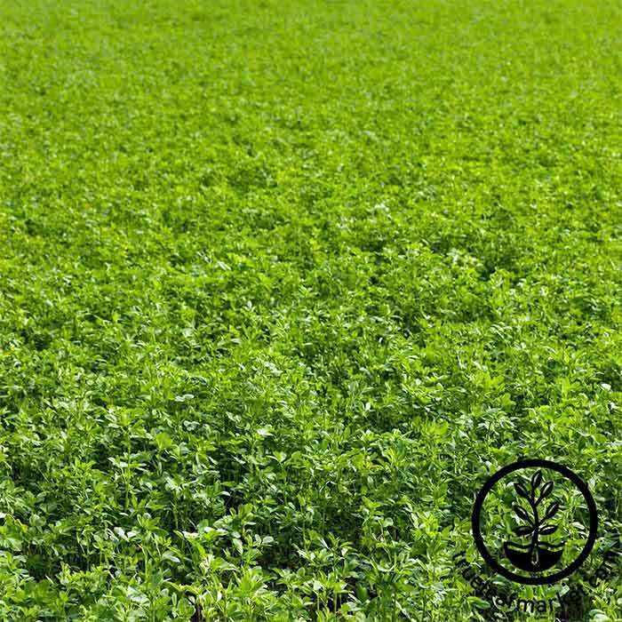 Conventional Alfalfa Cover Crop Seeds