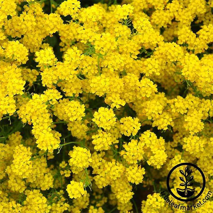 Alyssum Basket of Gold Flower Garden Seeds