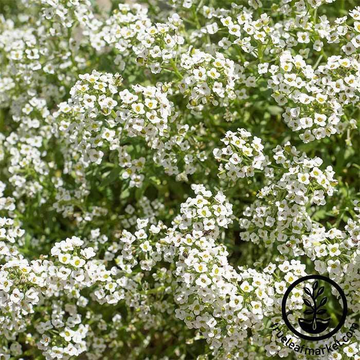 Alyssum Carpet of Snow Flower Seed