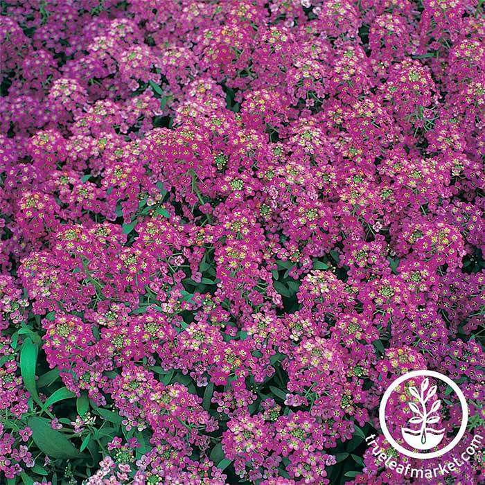 Royal Carpet Alyssum Flower Seeds