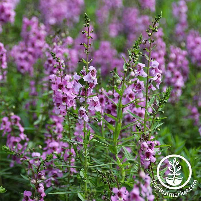 Angelonia Seeds - Serena