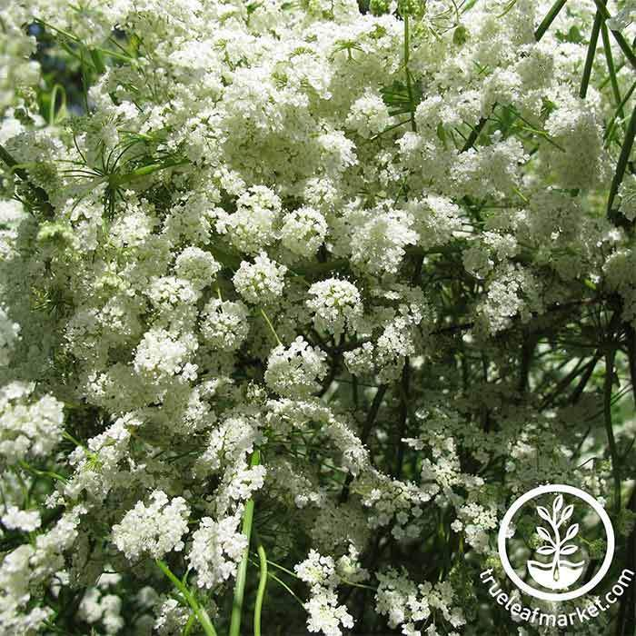 Anise - Medicinal & Culinary Herb Plant