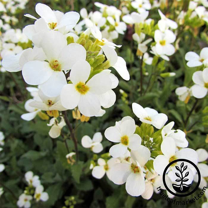 Arabis Snow Cap Flower Seeds