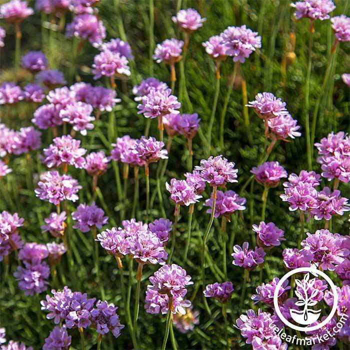 Armeria Maritima Seed Series Splendens Bright Rose