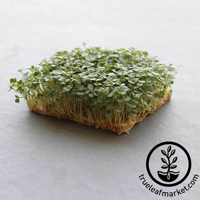 Slow Bolt Arugula Microgreens Seeds