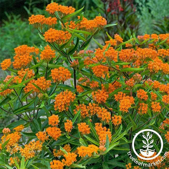Butterfly Weed Asclepias Flower Gardening Seeds