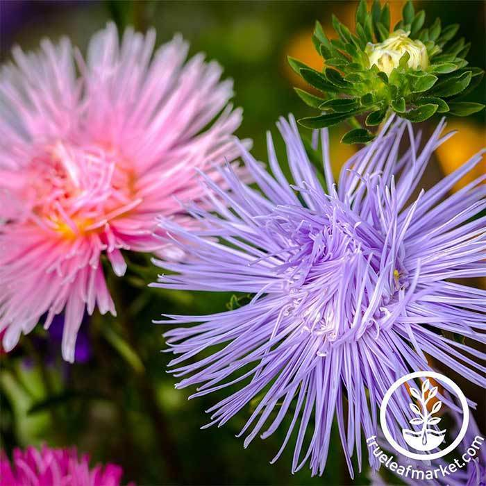 Aster Crego Giant Mixture Flower Seeds