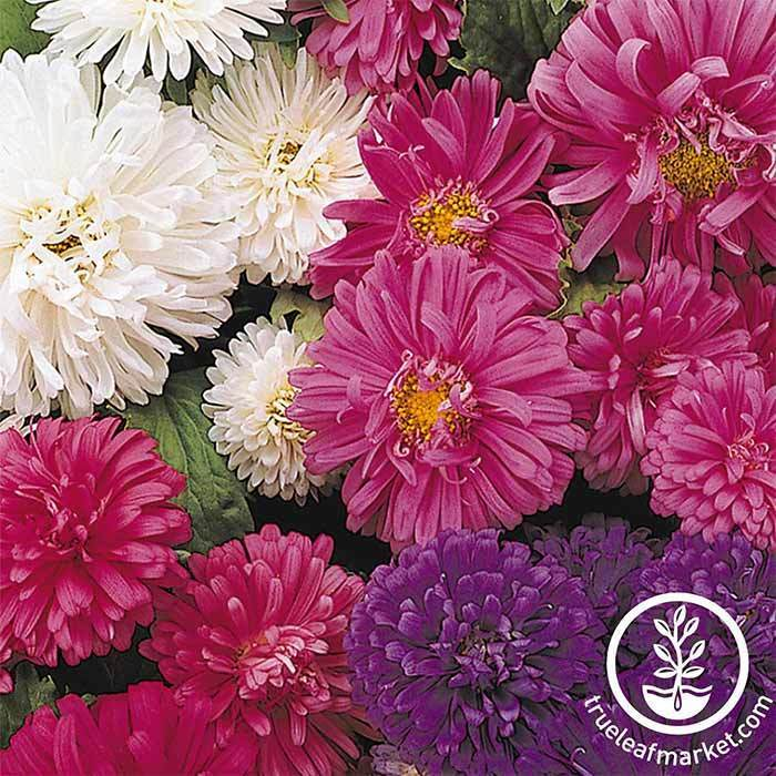Aster Flower Pot N Patio Mix Seeds