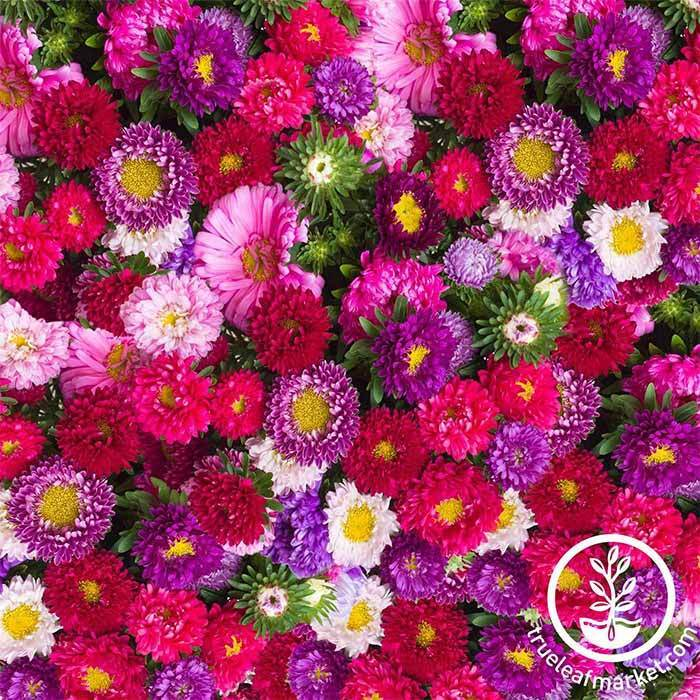 Aster Powderpuff Mix Seeds