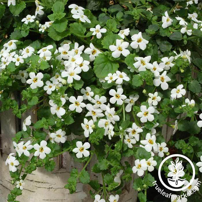 Bacopa Utopia Snowtopia Flower Seed