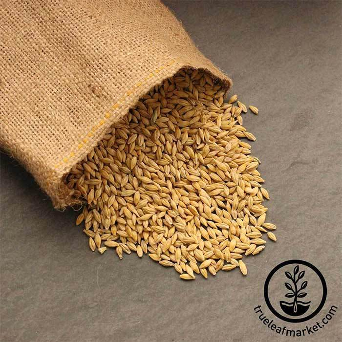 All Natural 5 Pounds Whole Barley Seed for Juicing Malt Brewing Barley Seeds Beer Making
