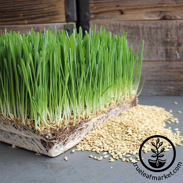 Non-GMO Organic Barley Grass Sprouting Seed