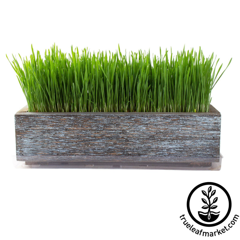 Barnwood Planter Organic Wheatgrass Kit aged grown white background