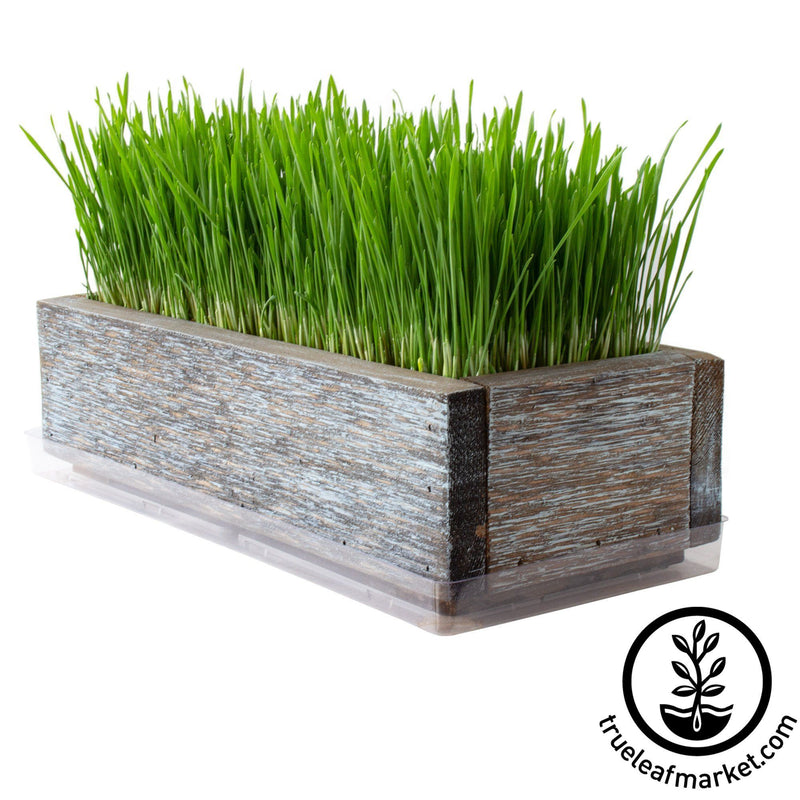 Barnwood Planter Organic Wheatgrass Kit aged white background