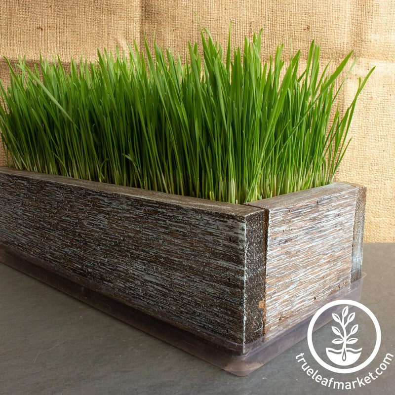 Barnwood Planter Organic Wheatgrass Kit aged grown
