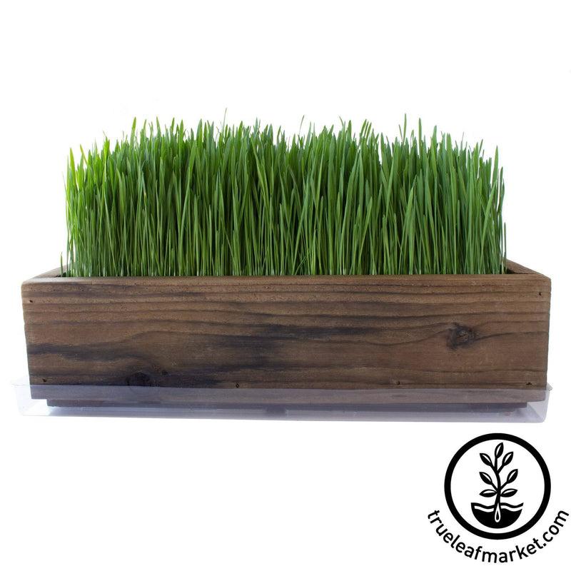 Barnwood Planter Organic Wheatgrass Kit brown grown white background