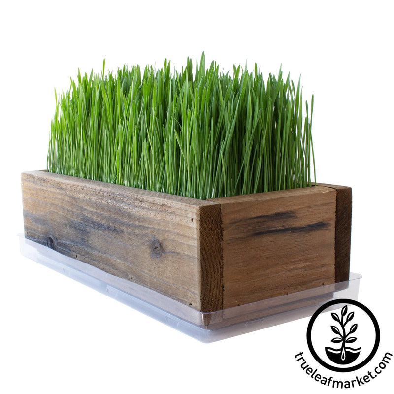 Barnwood Planter Organic Wheatgrass Kit brown white background