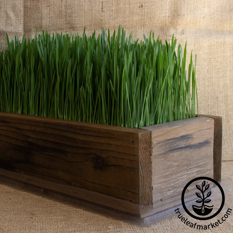 Barnwood Planter Organic Wheatgrass Kit brown grown