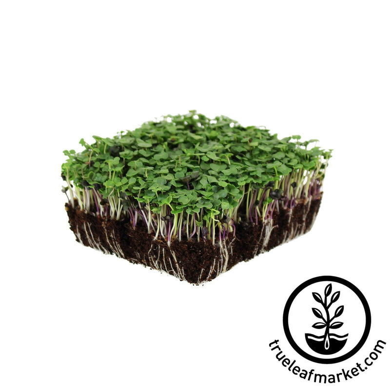 Basic Salad Mix - Microgreens Seeds organic white background