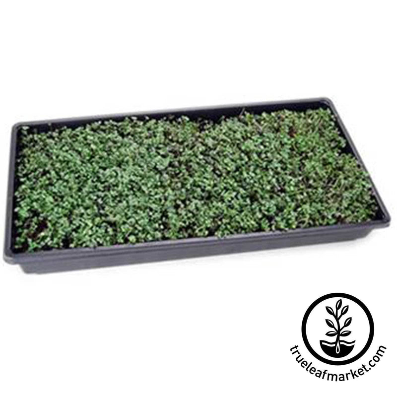 Harvest Time for Microgreens