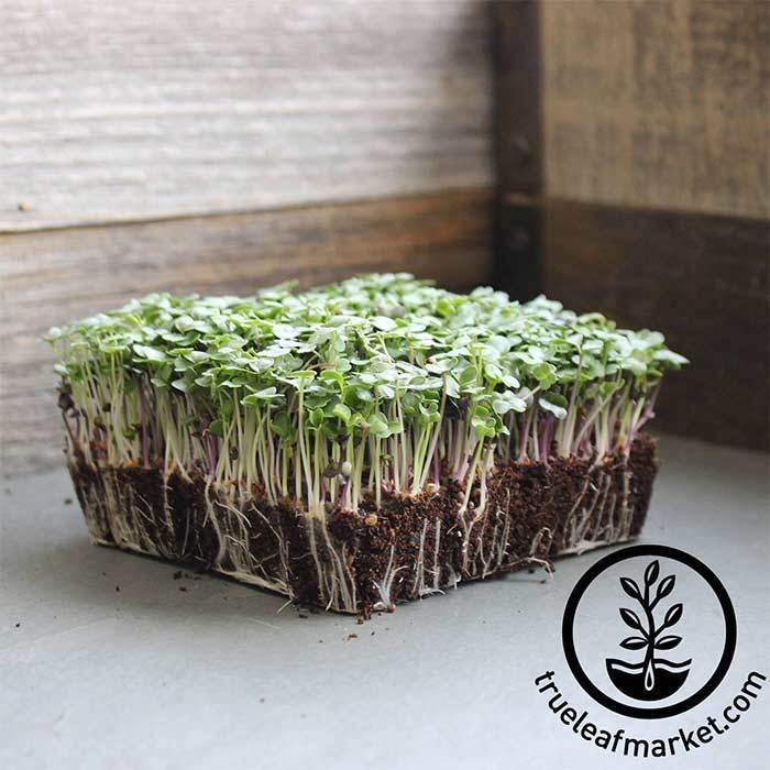 Basic Salad Microgreen Mix Grown