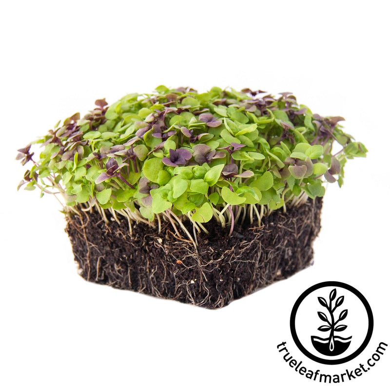 colorful microgreens mix with white background