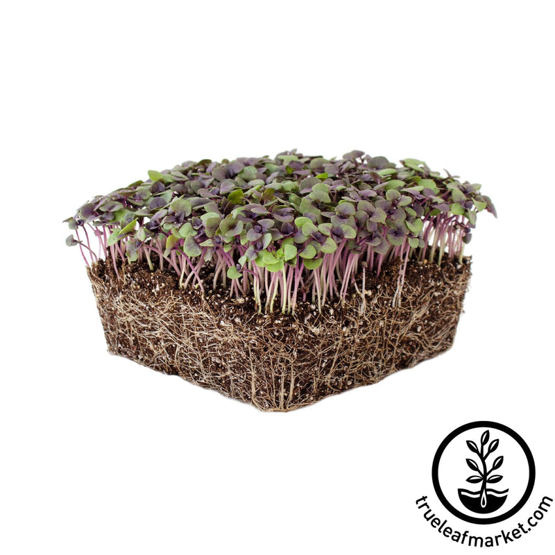 Basil - Dark Opal - Microgreens Seeds