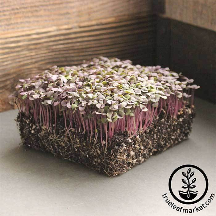 Basil Seeds - Red Rubin - Microgreens Seeds