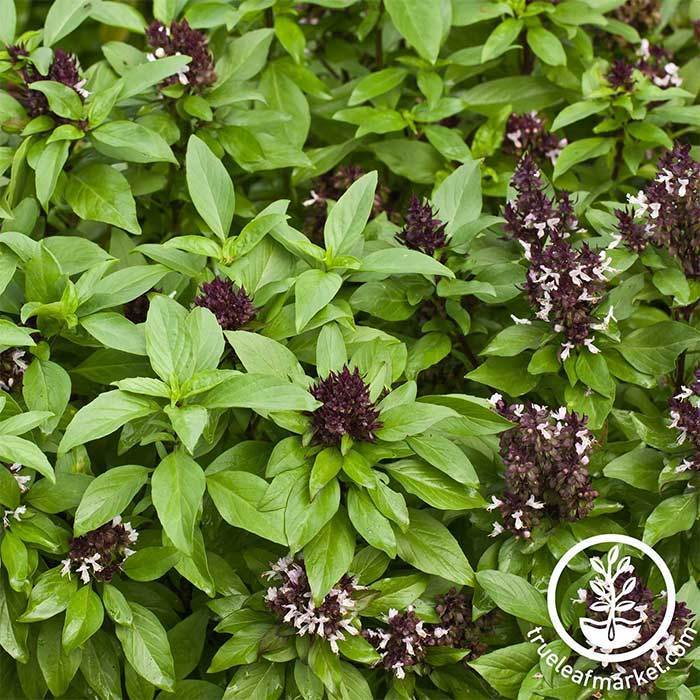 Basil - Siam Queen Herb Seed