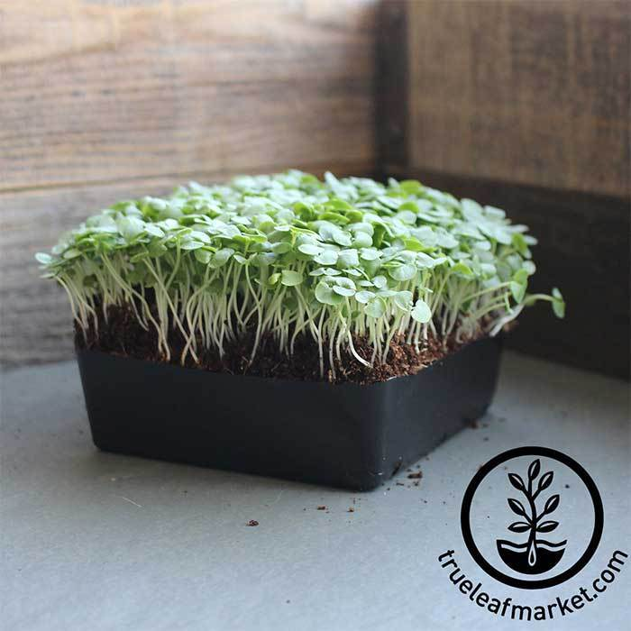 Thai Basil Microgreens growing