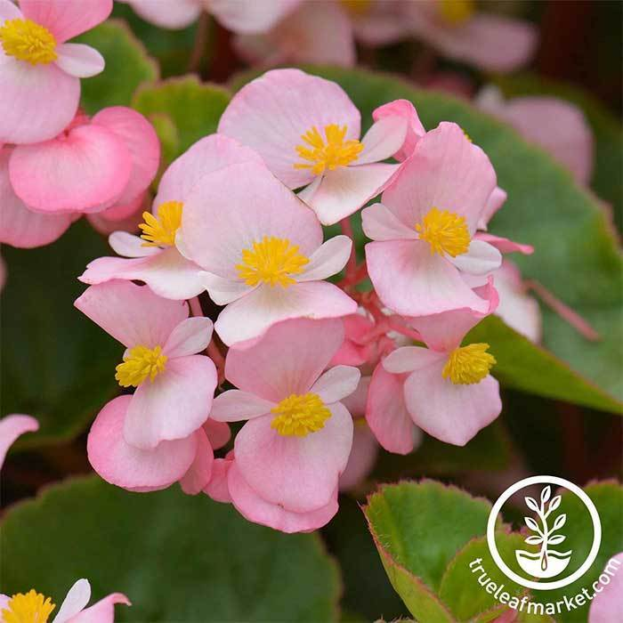 Begonia Fibrous Cocktail Series Brandy light pink Seed