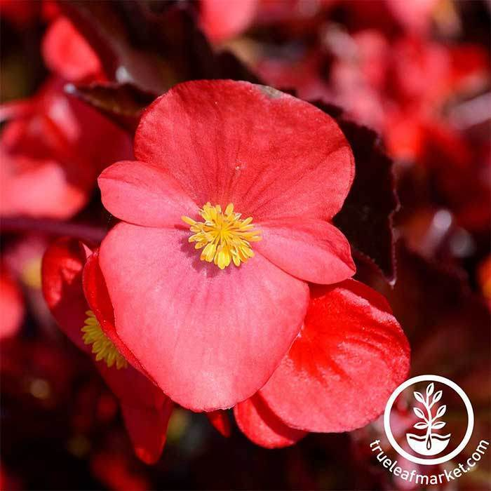 Begonia Fibrous Cocktail Series Gin Rose Seed