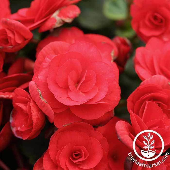 Begonia Tuberous Nonstop Series Red Seed